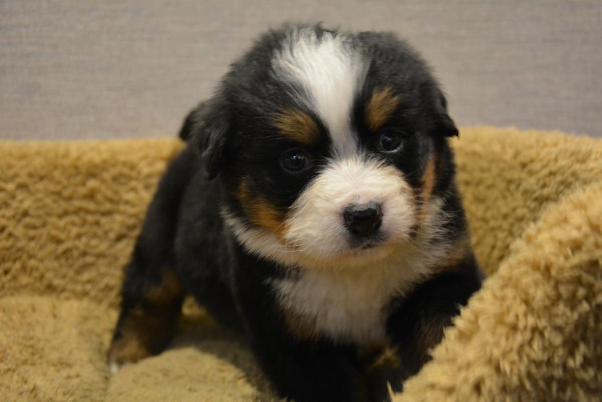 私がバーニーズ・マウンテン・ドッグを飼って良 …