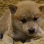 柴犬♂0823のサムネイル
