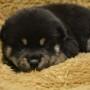 柴犬♂黒のサムネイル