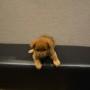 柴犬のサムネイル