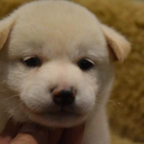 柴犬 白のサムネイル