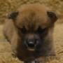 柴犬 0721のサムネイル