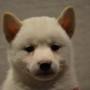 柴犬♀白0722のサムネイル