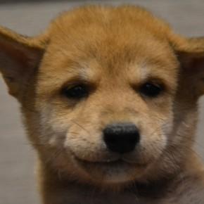 柴犬♂0806のサムネイル