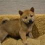 柴犬♀0812のサムネイル