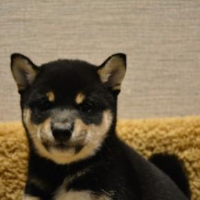 柴犬♀0814黒のサムネイル