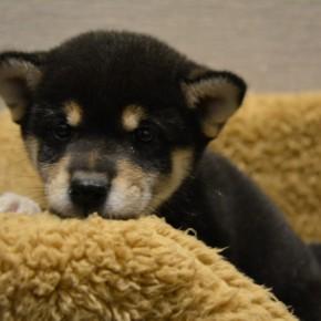 柴犬♀0322黒のサムネイル