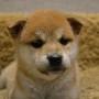 柴犬♀0614のサムネイル