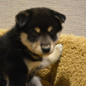 柴犬♀0705黒のサムネイル