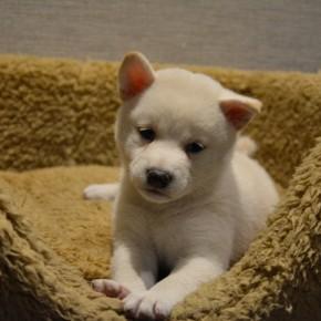 柴犬♀0804白のサムネイル