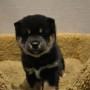 柴犬♀黒1006のサムネイル