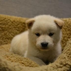 柴犬♂白1215のサムネイル