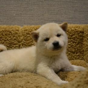 柴犬♀白1215のサムネイル