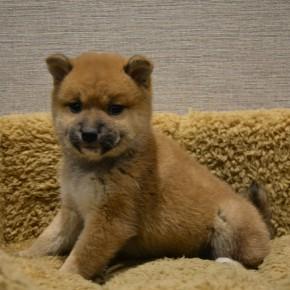 柴犬♀0209のサムネイル