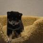柴犬♀0106黒のサムネイル