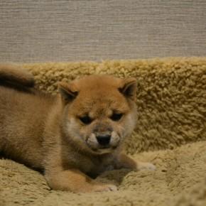 柴犬♀09のサムネイル