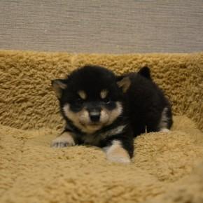 柴犬♂0112黒のサムネイル