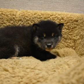 柴犬♂黒1228のサムネイル