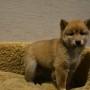 柴犬♀0210のサムネイル