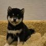 柴犬♀0426黒のサムネイル